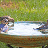 Gino, Gia and Ava, our Immature Eastern Bluebirds, enjoying the family vacation at Le Rural Spa.