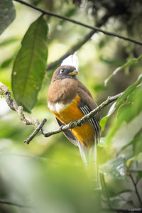 Onange-bellied Trogon (female)