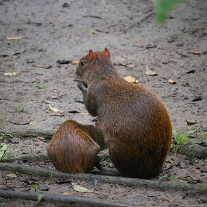 Central American Agouti (nursing young)