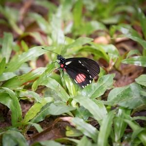 Cattleheart (Parides eurimedes)