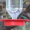 Black-chinned and Broad-billed Hummingbirds