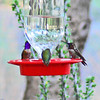 Lucifer and Anna's Hummingbirds