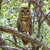 Adult Spotted Owl