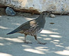 Female California Quail