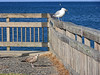 Young Herring Gull begs for a fish