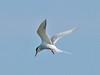 Common Tern,