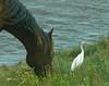 Pony (Cattle) Egret