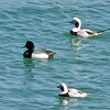 Greater Scaup and Long-tailed Ducks