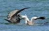 White Pelican and Brown Pelican