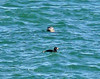 Harbor Seal and Black Scoter