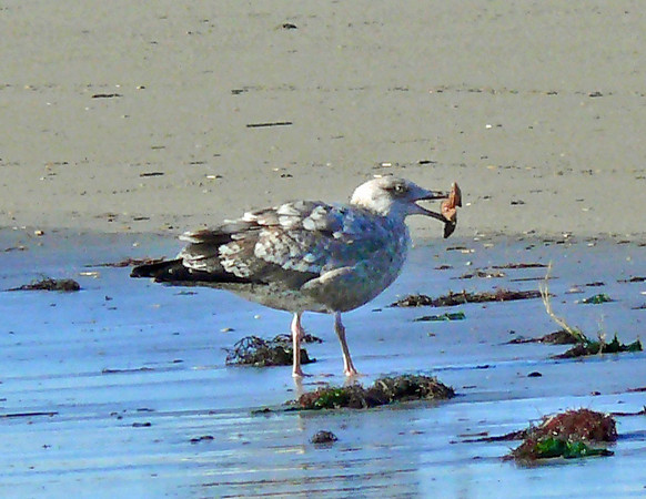 Herring Gull with a Starfish