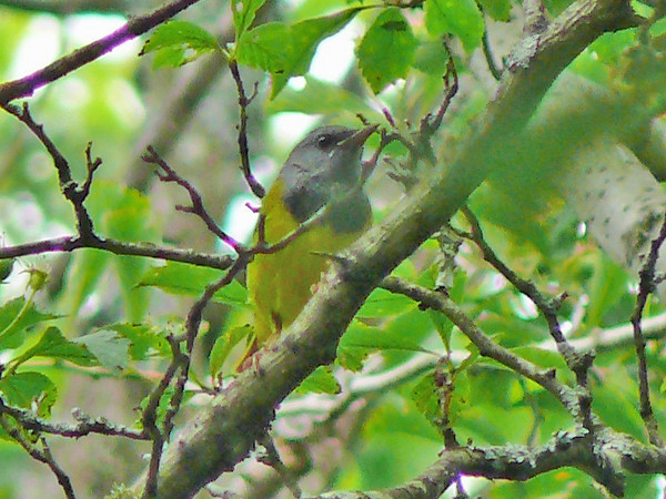 Mourning Warbler in the rain