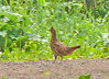 Female Ruffed Grouse