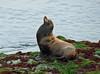 Male California Sea Lion