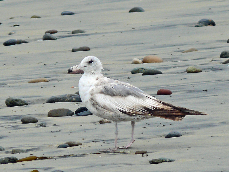 Young California Gull