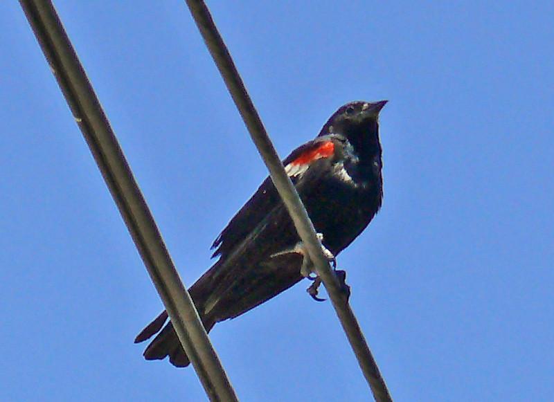 Male Tricolored Blackbird