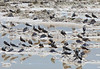 California Gulls in the salt flats