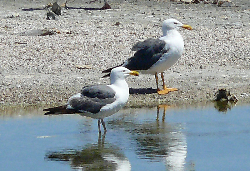 Yellow-footed Gull and Western Gull