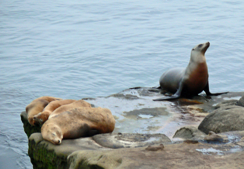 Female California Sea Lion with pups