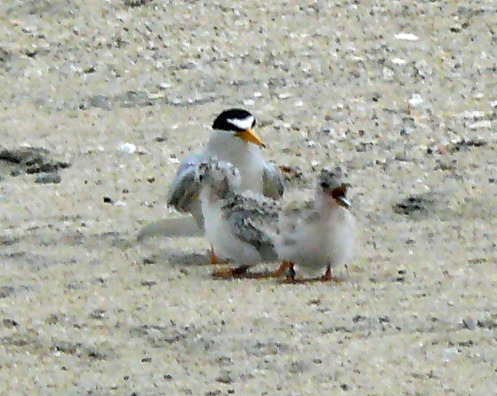 Least Tern with chicks