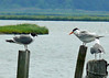 Laughing Gull and Royal Tern