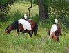 Cattle (Pony) Egrets riding ponies
