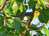 Yellow-headed Vireo