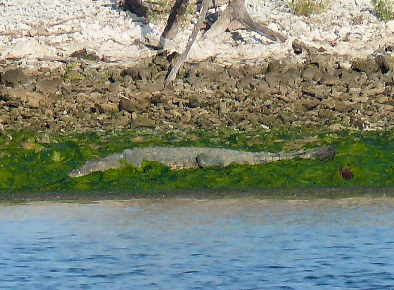North American Crocodile