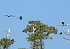 Magnificent Frigatebirds nesting