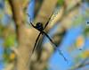 Female Argiope argentata