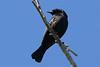 Shiny Cowbird,
