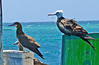 Brown Booby (Adult) and Magnificent Frigatebird (Juvenile)