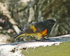 Male American Redstart shaking himself dry
