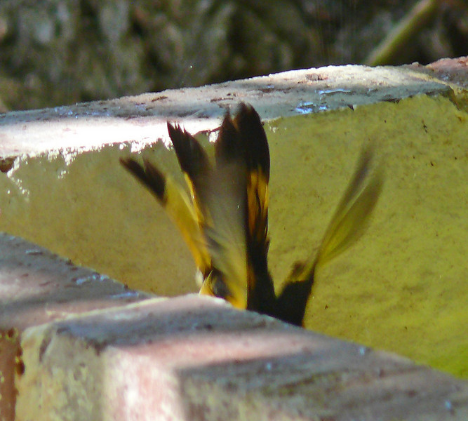 Male American Redstart diving into the fountain