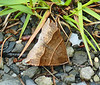 Maple Looper Moth