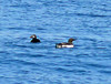 Common Murre and Atlantic Puffin