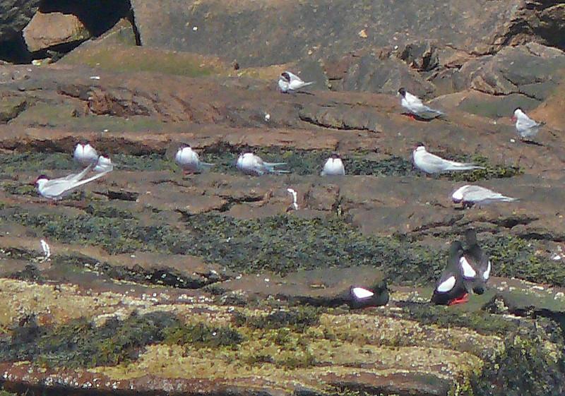 Arctic Terns and Black Guillemots