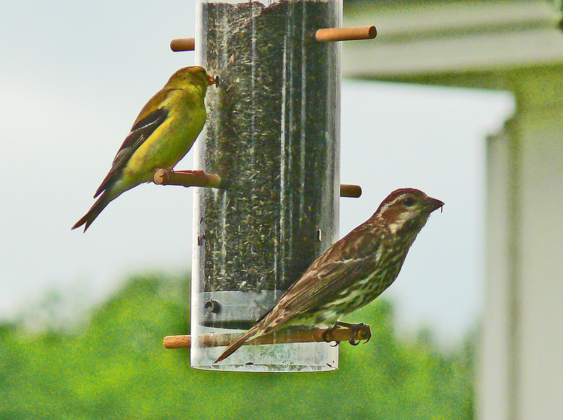 American Goldfinch and Purple Finch,