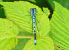 Northern Bluet