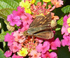 Female Fiery Skipper