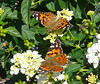 Pair of Painted Ladies