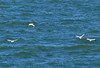 Northern Gannets taking off