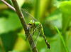Female Common Pondhawk with a meal