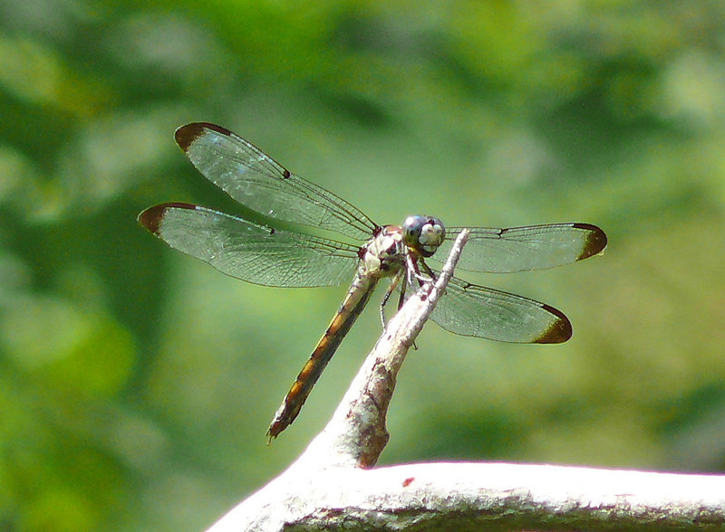 Immature male Great Blue Skimmer