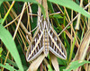 White-Lined Sphinx Moth.