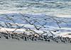 Black Skimmers landing on the beach