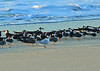 Black Skimmers and a Royal Tern