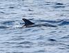 Bottlenose Dolphin (Offshore Race)