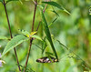 Praying Mantis eating a Sliver-spotted Skipper