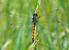 Female Seaside Dragonlet